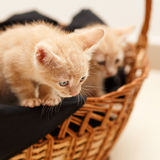 Pequeño gato precioso dos en cesta de mimbre Imagen de archivo libre de regalías