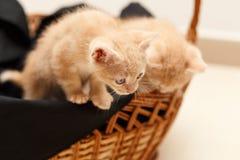 Pequeño gato precioso dos en cesta de mimbre Fotografía de archivo