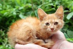 Pequeño gato rojo en manos Imagen de archivo libre de regalías