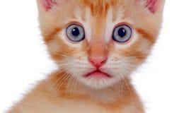 Pequeño gato rojo hermoso que mira la cámara Foto de archivo libre de regalías