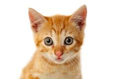 Pequeño gato rojo hermoso que mira la cámara Foto de archivo