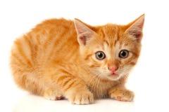Pequeño gato rojo hermoso que mira la cámara Imagenes de archivo