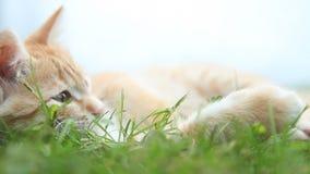 Pequeño gato rojo que miente en hierba verde almacen de metraje de vídeo