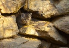 Pequeño gato salvaje en alarma Fotos de archivo