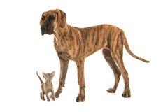 Pequeño gato siamés lindo del bebé que mira para arriba a un perro grande de great dane Imágenes de archivo libres de regalías