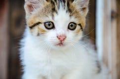 Pequeño gato tricolor que juega en la yarda, en el fondo de madera, Fotografía de archivo