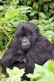 Pequeño gorila de montaña que se sienta en las hojas Imagenes de archivo