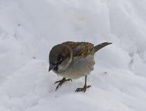 Pequeño gorrión del pájaro que se sienta en la nieve Fotos de archivo libres de regalías