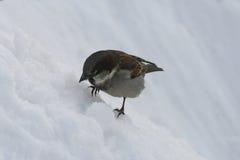 Pequeño gorrión del pájaro que se sienta en la nieve Imágenes de archivo libres de regalías