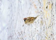 Pequeño gorrión hermoso del pájaro que se sienta en parque del invierno en el Br del abedul Fotografía de archivo