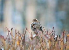 Pequeño gorrión mojado divertido lindo del pájaro que se sienta en Bush espinoso, foto de archivo