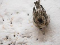 Pequeño gorrión que come maíz en la nieve Imágenes de archivo libres de regalías