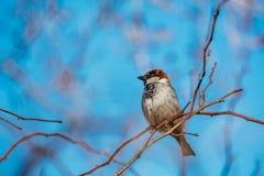 Pequeño gorrión que se sienta en una rama de árbol Foto de archivo libre de regalías