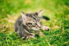 Pequeño Gray Cat Kitten Play Outdoor lindo Foto de archivo libre de regalías