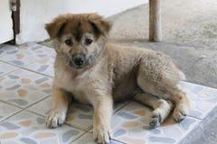 Pequeño Gray Puppy Dog Lying en la tierra Imágenes de archivo libres de regalías
