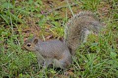 Pequeño Gray Squirrel mira la cámara que pide la comida foto de archivo libre de regalías