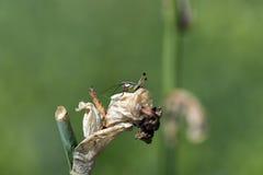 Pequeño grillo en la flor marchitada del iris Fotografía de archivo libre de regalías