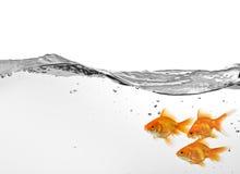 Pequeño grupo de goldfish en agua Fotos de archivo libres de regalías