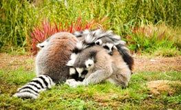 Pequeño grupo de lémures Imagen de archivo libre de regalías