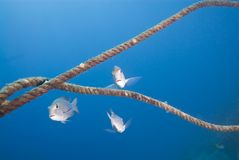 Pequeño grupo de pescados del emperador del priacántido. Imagenes de archivo