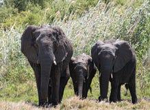 Pequeño grupo del elefante en el delta seco del okavango fotografía de archivo