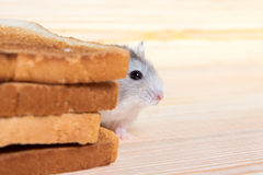 Pequeño hámster de Jungar cerca de las tostadas del pan Foto de archivo