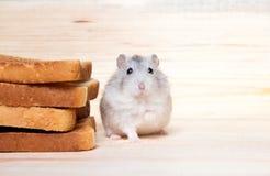 Pequeño hámster de Jungar cerca de las tostadas del pan Imágenes de archivo libres de regalías