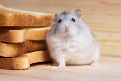 Pequeño hámster de Jungar cerca de las tostadas del pan foto de archivo libre de regalías
