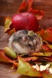Pequeño hámster en paisaje del otoño Fotografía de archivo libre de regalías