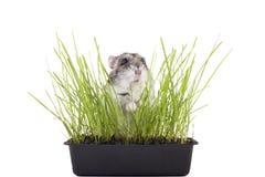 Pequeño hámster que oculta en hierba verde Imagen de archivo libre de regalías