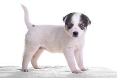 Pequeño híbrido del perrito Fotos de archivo libres de regalías