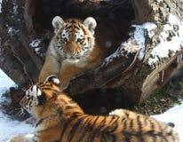 Pequeño hermano del tigre de bebé Imagen de archivo libre de regalías