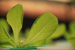 Pequeño hidrocultivo de las plantas Fotografía de archivo libre de regalías