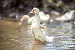 Pequeño indoda blanco que agita las pequeñas alas en el agua Foto de archivo libre de regalías