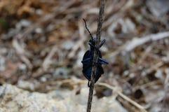Pequeño insecto azul Foto de archivo