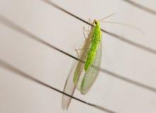 Pequeño insecto con los ojos de oro, y alas transparentes Imagenes de archivo