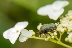 Pequeño insecto de la flor del espino verde Imagen de archivo