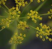 Pequeño insecto en la planta de florecimiento del eneldo Fotografía de archivo