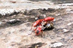 Pequeño insecto rojo Foto de archivo libre de regalías