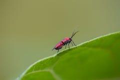 Pequeño insecto rojo en una hoja verde 1 fotografía de archivo libre de regalías