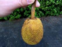 Pequeño Jack Fruit Foto de archivo