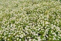 Pequeño jardín de flores blanco Foto de archivo libre de regalías