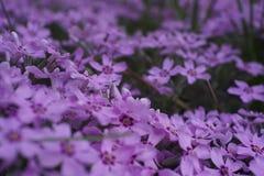 Pequeño jardín llenado de la flor púrpura Imagen de archivo