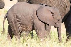 Pequeño juego del becerro del elefante en la porción de la hierba verde larga y el tener de f Imágenes de archivo libres de regalías