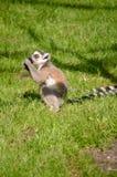 Pequeño lémur lindo que come una cereza Fotos de archivo
