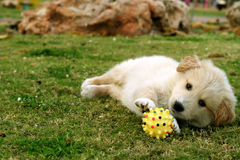 Pequeño Labrador Imágenes de archivo libres de regalías