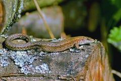 Pequeño lagarto Foto de archivo libre de regalías