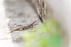 Pequeño lagarto Imagenes de archivo