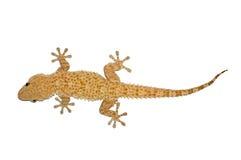 Pequeño lagarto del gecko Fotos de archivo
