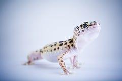 Pequeño lagarto del reptil del gecko imagen de archivo